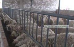 灵武山草羊
