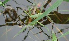 大黄堡河蟹
