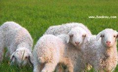 河套巴美肉羊