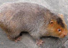 金城江竹鼠