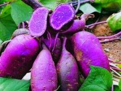<b>紫色红薯</b>