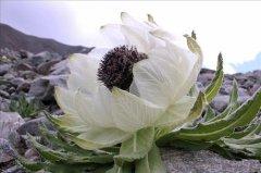 西藏雪莲花