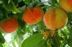 王益孟姜红甜桃
