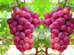 永宁红提葡萄