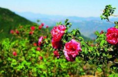 妙峰山玫瑰花
