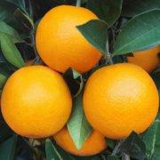 麻阳冰糖橙的特征