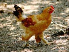广德毛腿鸡
