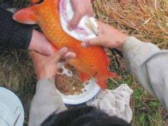 兴国红鲤鱼