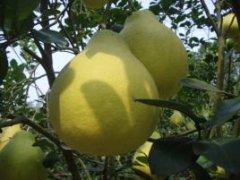 天峨沙田柚