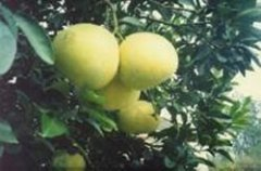 天保文旦柚