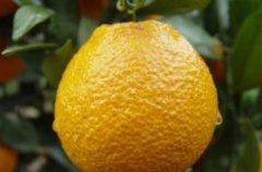 汉源黄果柑