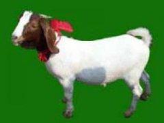 麟游布尔羊