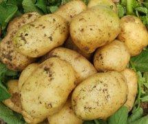 安定马铃薯