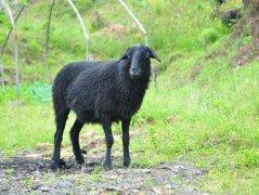 贵南黑藏羊
