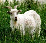 博格达白绒山羊